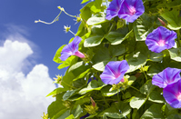 Midsummer morning glory Stock photo [4391491] morning