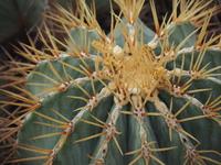 """Crown dragon"" Stock photo [4461268] Cactus"