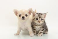 Chihuahua and Amesho Stock photo [4462322] Chihuahua