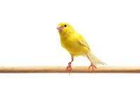 Canary Stock photo [4462578] bird