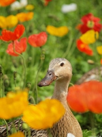 Duck of the poppy field Stock photo [4462751] Ducks