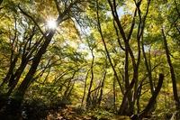 Oyama beech forest Stock photo [4547315] Tottori