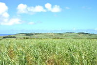 Sugar cane fields of Kikai Island Stock photo [4548267] Kikai
