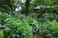 Corridor that hydrangeas bloom Stock photo [4553591] Temple