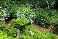 Bloom in the precincts hydrangea and stone statue Stock photo [4553605] Temple