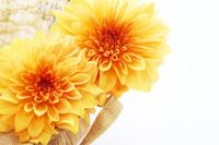 Dahlia Orange Stock photo [4618339] Dahlia