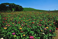 Flower garden of the state-owned Hitachi Seaside Park hill vantage zinnia Stock photo [4618960] Hitachi