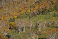 旭岳山麓の紅葉