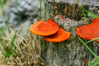 Hiirotake Stock photo [4681279] Fungi