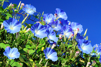 Blue morning glory Stock photo [4684868] Heavenly