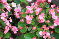 Begonia Stock photo [4686772] Begonia