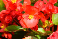 Begonia Stock photo [4743452] Begonia