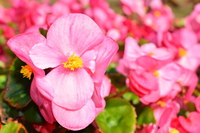 Pink begonia Stock photo [4743457] Begonia