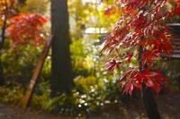 Autumn leaves of Kakunodate