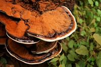 Bracket fungus Stock photo [4745262] Bracket