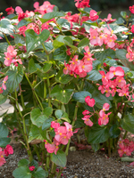 Flowerbed of begonia Stock photo [4752136] Begonia