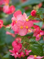 Flowerbed of begonia Stock photo [4752150] Begonia