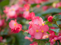 Flowerbed of begonia Stock photo [4752193] Begonia