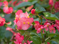 Flowerbed of begonia Stock photo [4752328] Begonia