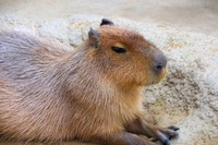 Capybara Stock photo [4828814] Capybara