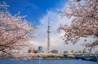 Sakura of Tokyo Sky Tree and Sumida Park Stock photo [4835221] Tokyo