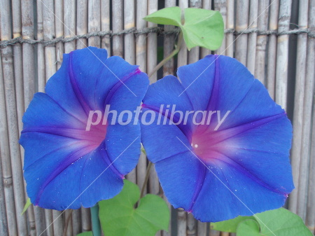 Morning glory that bloomed in blind Photo