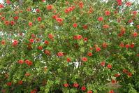 Hibiscus Stock photo [159222] Okinawa