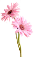 Gerbera Stock photo [160142] Gerbera