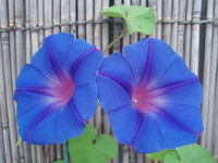 Morning glory that bloomed in blind Stock photo [160406] Bamboo