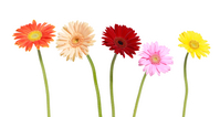 Gerbera Stock photo [162003] Colorful