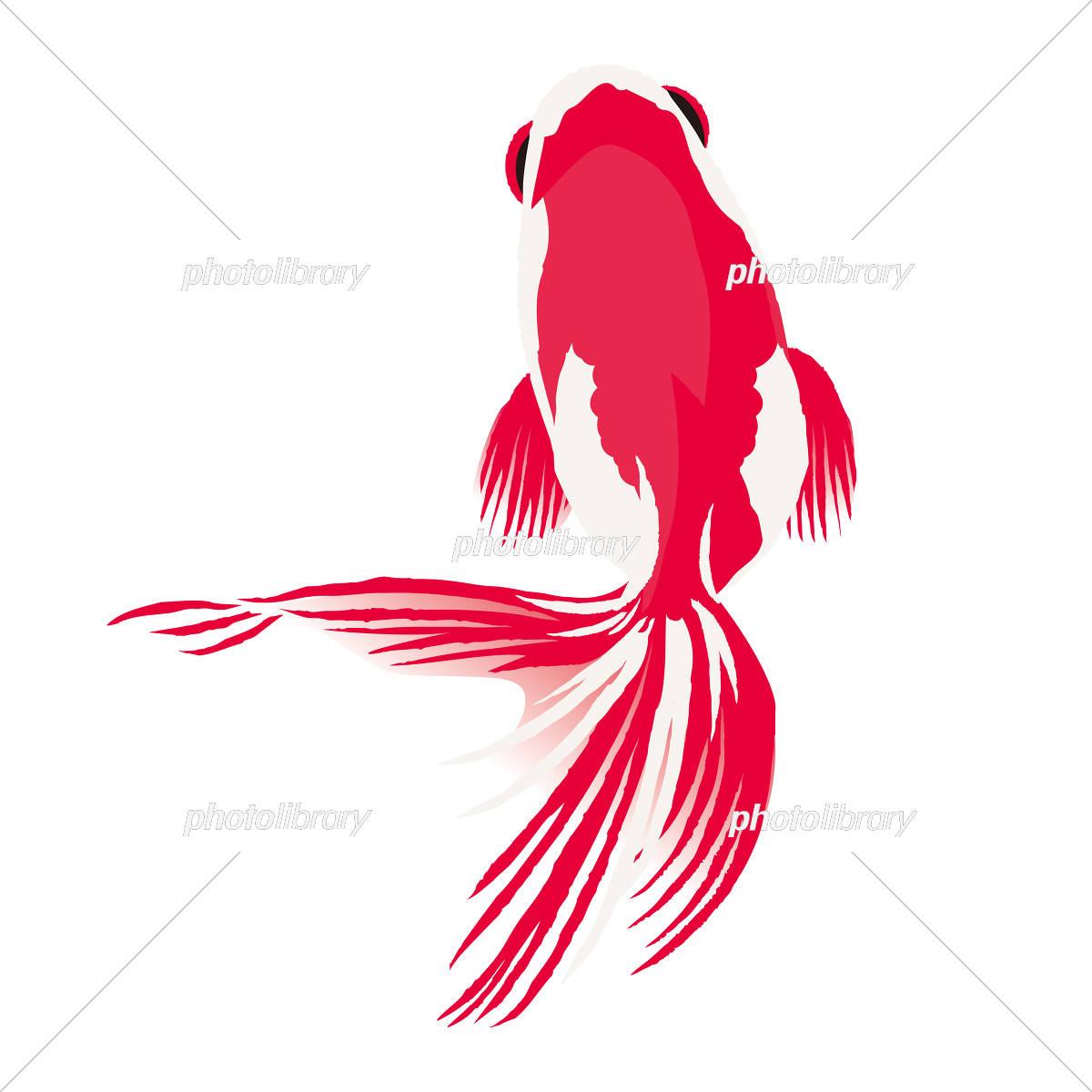 金魚 イラスト 白背景 イラスト素材 5037459 フォトライブラリー