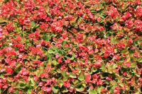 Red begonia Stock photo [5041904] Begonia