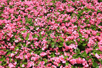 Pink's begonia Stock photo [5041906] Begonia