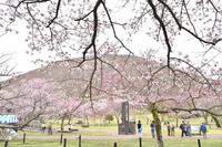 Izukogen. Sakura no Sato Omuroyama Stock photo [5042040] Izukogen