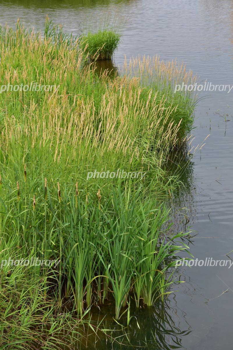 川の水際に生える葦の写真