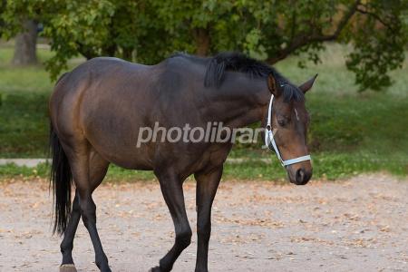 歩行する駿馬 写真素材 [ 183107 ] - フォトライブラリー photolibrary