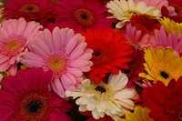 Gerbera bouquet Stock photo [181659] Gerbera