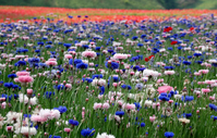 Cornflower flower garden of Stock photo [182390] Flower