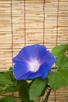 Blue morning glory Stock photo [331202] Morning