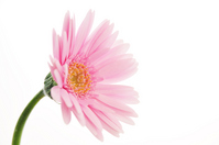 Pink gerberas Stock photo [331402] Gerbera