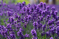 Early summer of lavender Stock photo [816530] Lavender