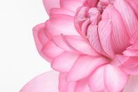 Lotus Stock photo [819804] Lotus