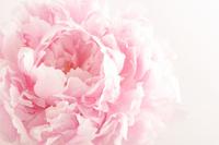 Peony pink Stock photo [820012] Pale