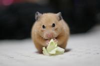 Kinkuma Stock photo [820171] Hamster