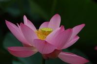 Lotus Stock photo [820317] Lotus