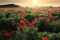 Dawn of the poppy field Stock photo [823867] Morning
