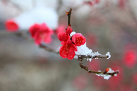 Plum and light snowfall Stock photo [824903] Red