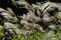 Autumn pampas grass Stock photo [825585] Japanese