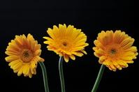 黄色いガーベラ
