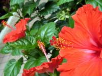 Hibiscus Stock photo [887451] Red